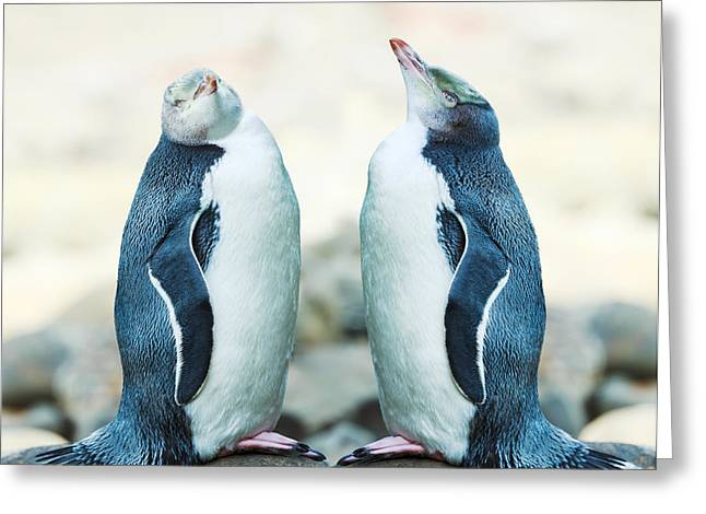 """""""yellow Eyes"""" Greeting Cards - Yellow-eyed Penguins Greeting Card by MotHaiBaPhoto Prints"""