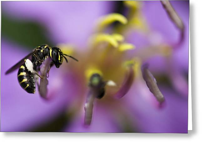 Arthropoda Greeting Cards - Yellow Faced Bee Greeting Card by Zoe Ferrie