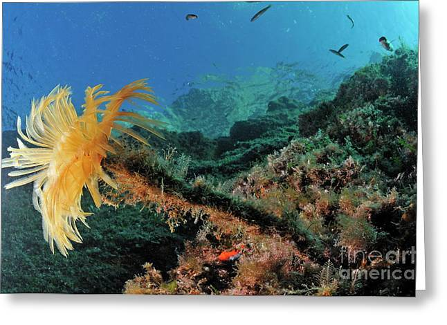 Port Cros Greeting Cards - Yellow Feather Duster Worm Greeting Card by Sami Sarkis