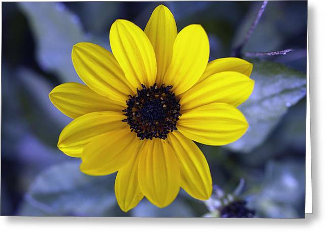 Tickseed Greeting Cards - Yellow Flower 4 Greeting Card by Skip Nall