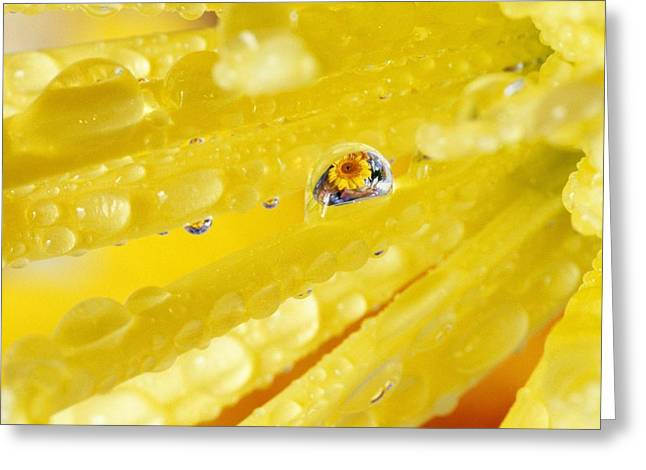 Cultivation Greeting Cards - Yellow Flowers Reflected In Dew Drop Greeting Card by Natural Selection Craig Tuttle