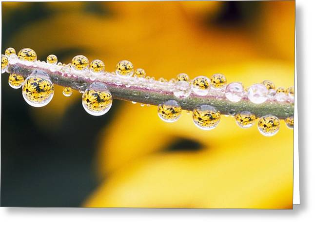 Yellow Flowers Reflected In Dew Drops Greeting Card by Natural Selection Craig Tuttle