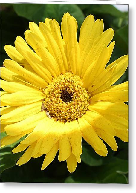 Yellow Gerber Daisy Greeting Card by Bruce Bley