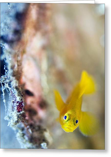 Goby Greeting Cards - Yellow Goby Greeting Card by Matthew Oldfield