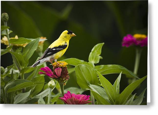 American Goldfinch Greeting Cards - Yellow Goldfinch Greeting Card by Chad Davis