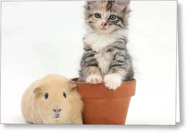 Domesticated Flower Greeting Cards - Yellow Guinea Pig And Kitten Greeting Card by Mark Taylor