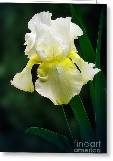 Yellow Bearded Iris Greeting Cards - Yellow Iris Greeting Card by Susan Isakson