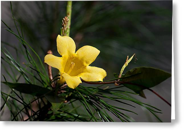 Jessamine Greeting Cards - Yellow Jessamine Greeting Card by Kenneth Albin
