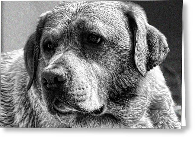 Black Labrador Retreiver Greeting Cards - Yellow Lab in Black and White Greeting Card by Norma Rowley