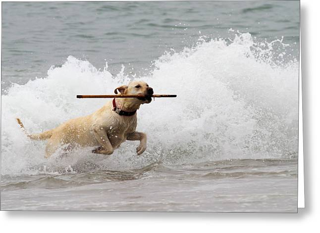 The Retrieve Greeting Cards - Yellow Lab Ocean Fetch Greeting Card by Renae Laughner