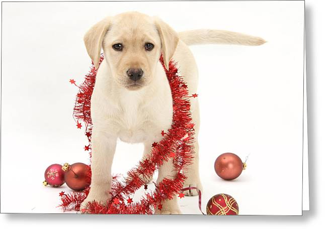 Cute Labradors Greeting Cards - Yellow Lab Pup At Christmas Greeting Card by Mark Taylor