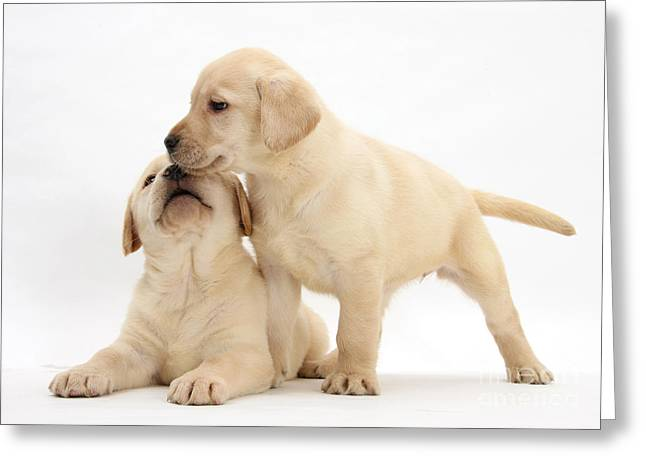 Cute Labradors Greeting Cards - Yellow Lab Puppies Greeting Card by Mark Taylor