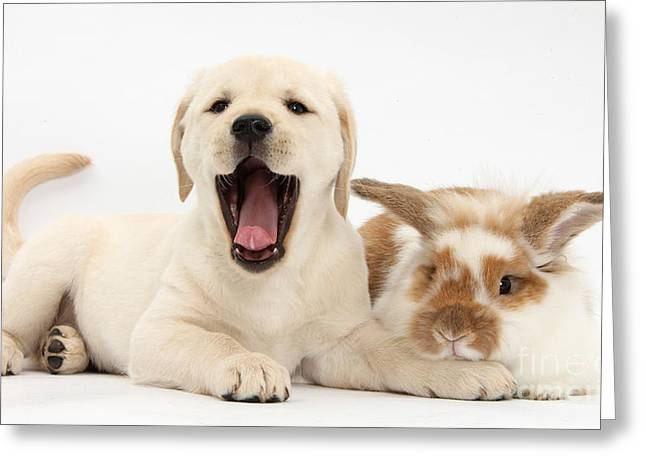 Mixed Labrador Retriever Greeting Cards - Yellow Lab Puppy With Rabbit Greeting Card by Mark Taylor