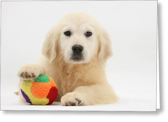 Cute Labradors Greeting Cards - Yellow Labrador Retriever Pup Greeting Card by Mark Taylor