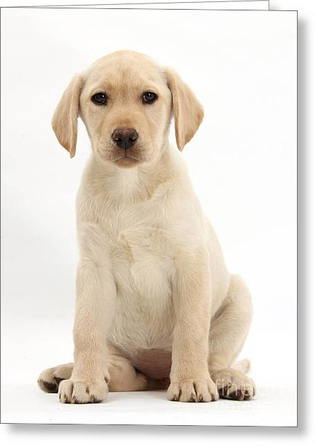 Cute Labradors Greeting Cards - Yellow Labrador Retriever Puppy Greeting Card by Mark Taylor