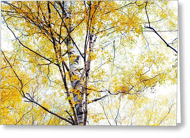 Yellow Lace Of The Birch Foliage  Greeting Card by Jenny Rainbow
