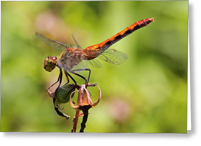 Macro Dragonfly Picture Greeting Cards - Yellow-Legged Meadowhawk  Greeting Card by Juergen Roth
