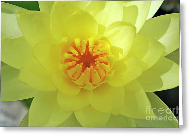 Sunlight On Flowers Greeting Cards - Yellow Lotus Greeting Card by Sami Sarkis