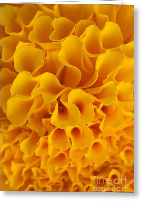 Flower Blossom Greeting Cards - Yellow Marigold Macro View Greeting Card by Atiketta Sangasaeng