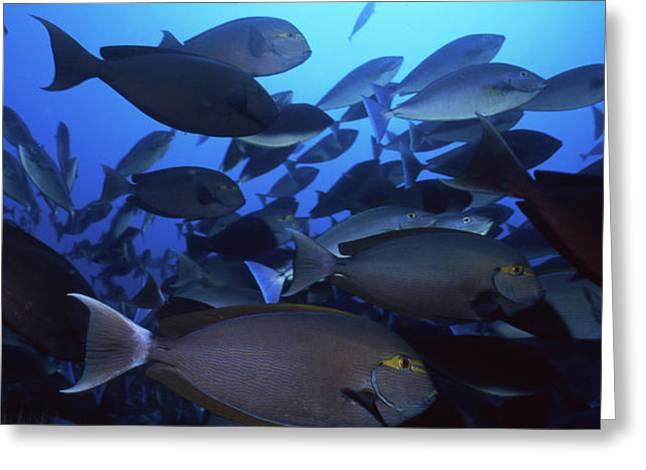 Yellow Mask Surgeonfish, Indonesia Greeting Card by Beverly Factor