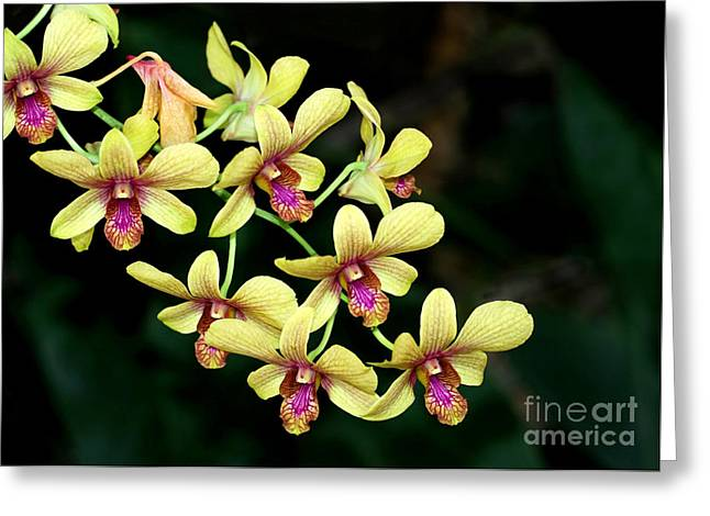 Florida Flowers Greeting Cards - Yellow Orchid Cascade Greeting Card by Sabrina L Ryan