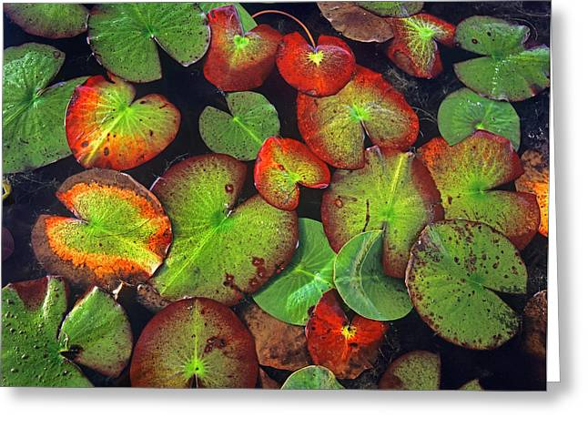 Day Lilly Greeting Cards - Yellow Pond Lily Close Up Of Pads North Greeting Card by Tim Fitzharris