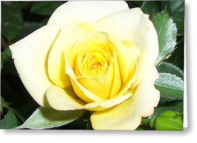 Bloom Greeting Cards - Yellow Rose Greeting Card by Heather Chaput
