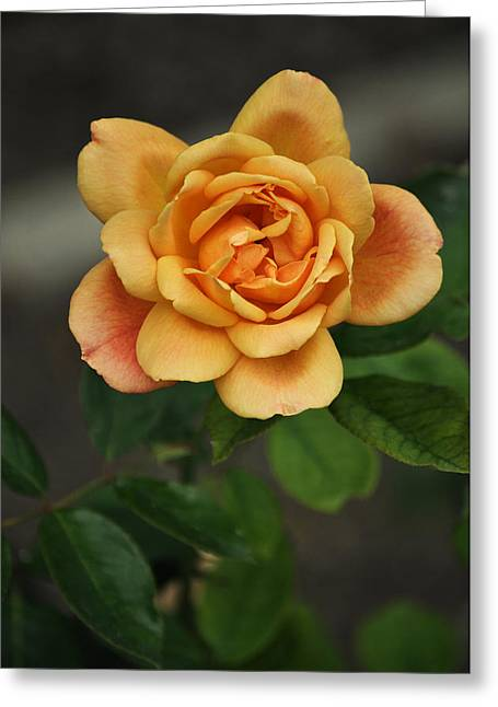 Wein Greeting Cards - Yellow Rose of Baden Greeting Card by Mary Machare