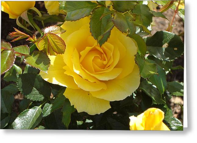 Yellow Rose Of California Greeting Card by James Hammen