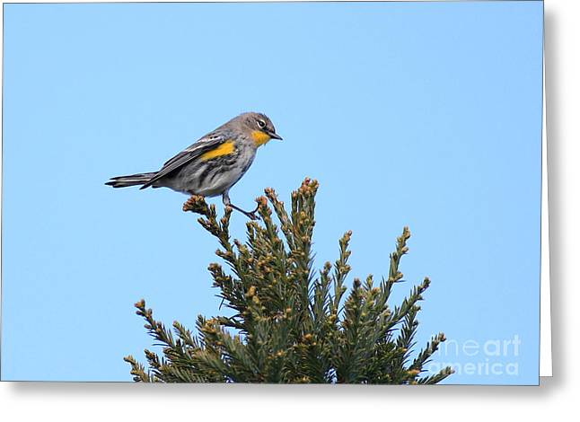 Warbler Greeting Cards - Yellow-Rumped Warbler Bird Perched . 40D12021 Greeting Card by Wingsdomain Art and Photography