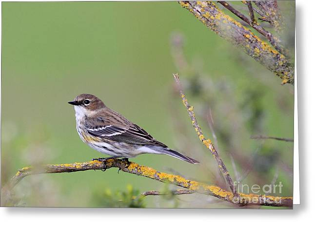 Warbler Greeting Cards - Yellow-Rumped Warbler Bird Perched . 40D12105 Greeting Card by Wingsdomain Art and Photography