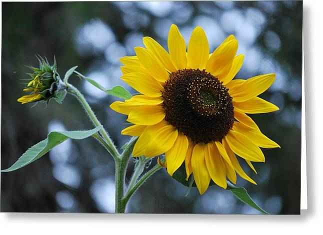 Yellow Sunflower Greeting Cards - Yellow sun Greeting Card by Judy Arbuckle