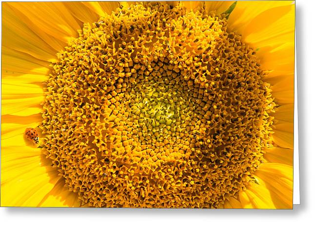 Yellow Sunflower With Ladybug - Square Format Greeting Card by Matthias Hauser