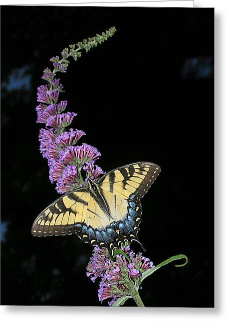 Swallowtail Butterflies Greeting Cards - Yellow Swallowtail Greeting Card by Steve Zimic