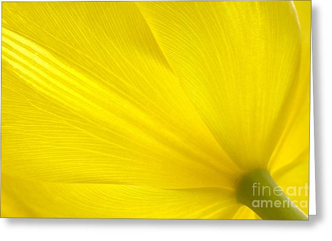 Spring Bulbs Greeting Cards - Yellow Tulip Greeting Card by Sharon  Talson