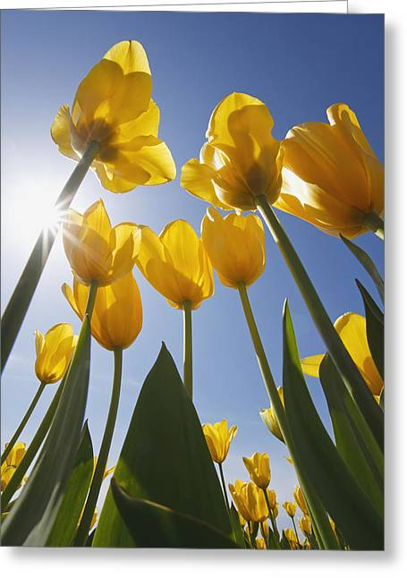Woodburn Greeting Cards - Yellow Tulips Against A Blue Sky At Greeting Card by Craig Tuttle