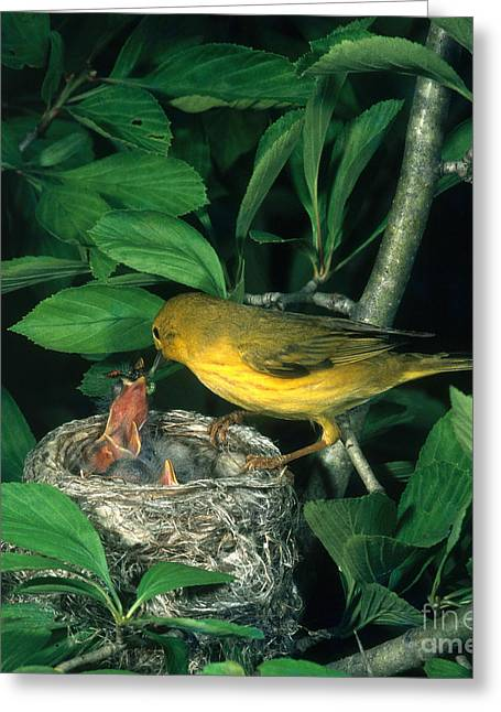 Yellow Warbler Greeting Cards - Yellow Warbler Feeding Nestlings Greeting Card by Photo Researchers