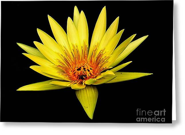 Aquatic Greeting Cards - Yellow Water Lily Greeting Card by Nick Zelinsky