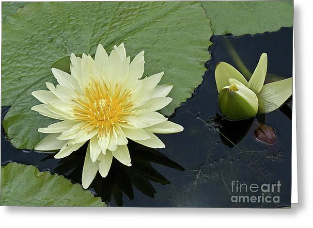 Water Lilly Greeting Cards - Yellow Water Lily with bud Nymphaea Greeting Card by Heiko Koehrer-Wagner