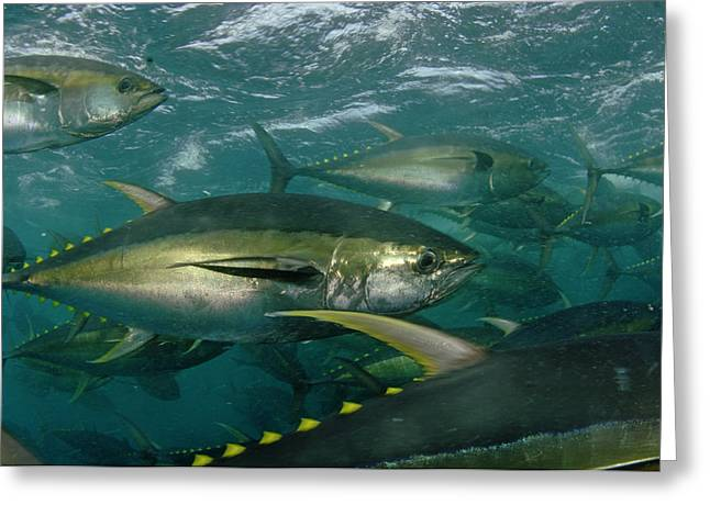 Food Industry And Production Greeting Cards - Yellowfin Tuna Are Cage-fed To Improve Greeting Card by Brian J. Skerry