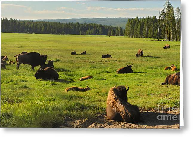 Yellowstone National Park Bison - 03 Greeting Card by Gregory Dyer