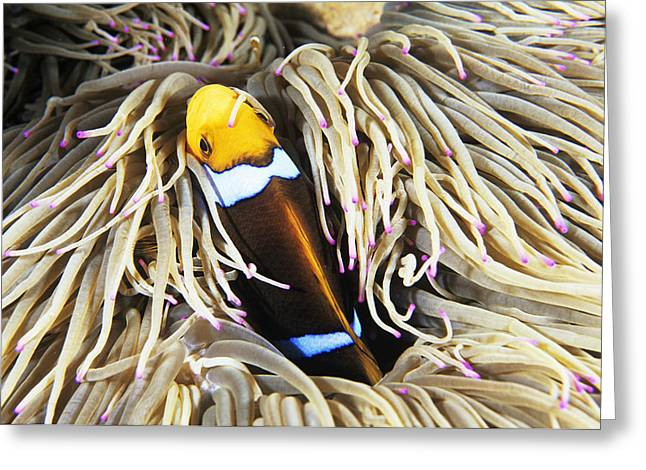 Yellowtail Clownfish Greeting Cards - Yellowtail Anemonefish In Its Anemone Greeting Card by Alexis Rosenfeld