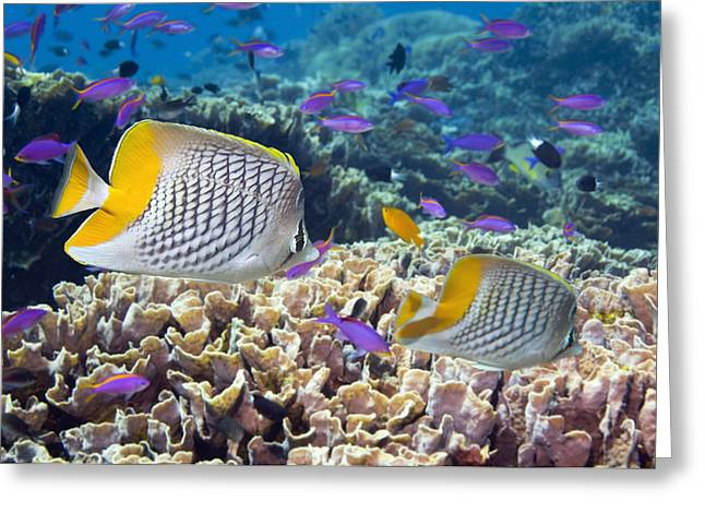 Yellowtail Greeting Cards - Yellowtail Butterflyfish Greeting Card by Georgette Douwma