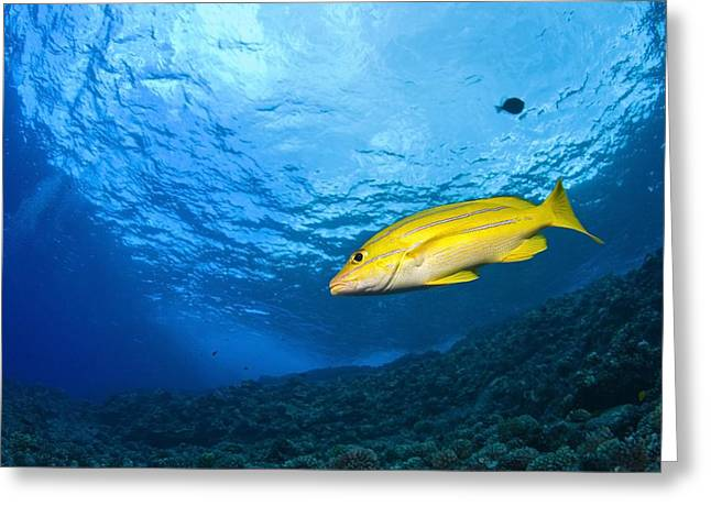 Yellowtail Greeting Cards - Yellowtail Snapper, Molokini Crater Greeting Card by Stuart Westmorland