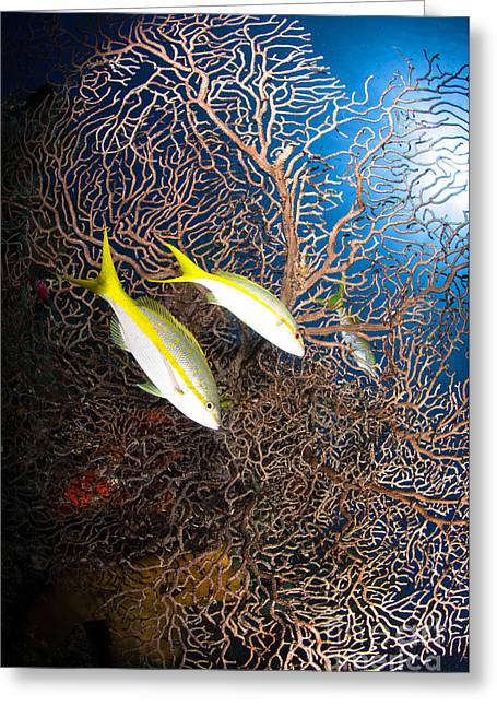 Yellowtail Greeting Cards - Yellowtail Snappers And Sea Fan, Belize Greeting Card by Todd Winner