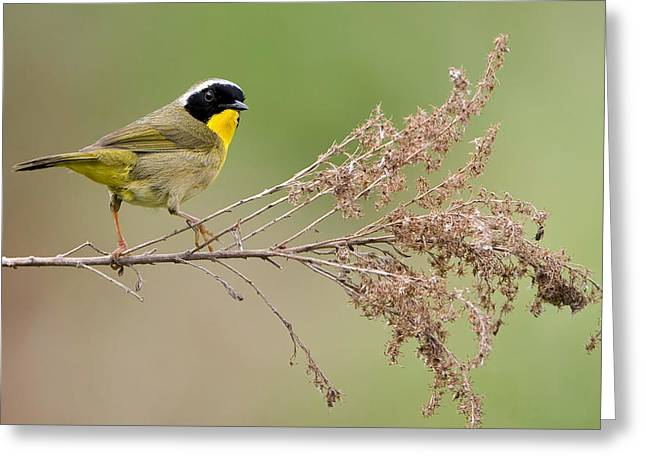 Warblers Greeting Cards - Yellowthroat Warbler Greeting Card by William Jobes