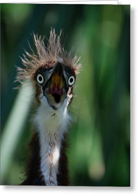 Louisiana Heron Greeting Cards - Yikes Greeting Card by Skip Willits