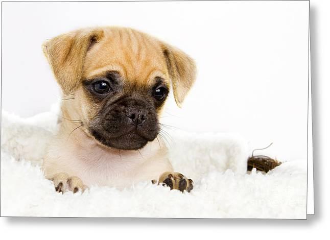 Puppies Photographs Greeting Cards - Yogi - Shelter Art Greeting Card by Renee Dawson