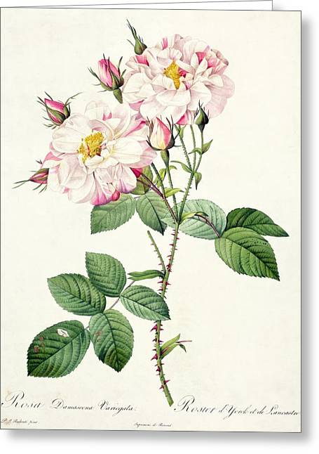 Stalked Greeting Cards - York and Lancaster Rose Greeting Card by Pierre Joseph Redoute