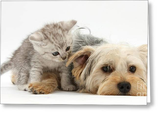 Domesticated Animal Greeting Cards - Yorkshire Terrier And Tabby Kitten Greeting Card by Mark Taylor